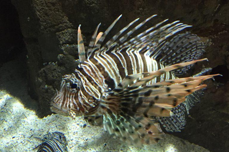 Lionfish-slide