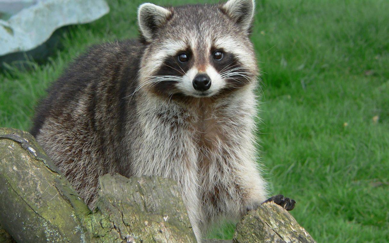 raccoon-langkawi-wildlife-park